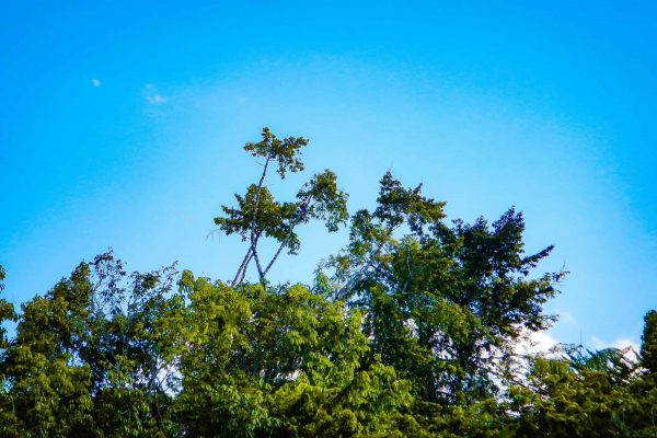 Trees in the Amazon Forest project, Para, Brazil.
